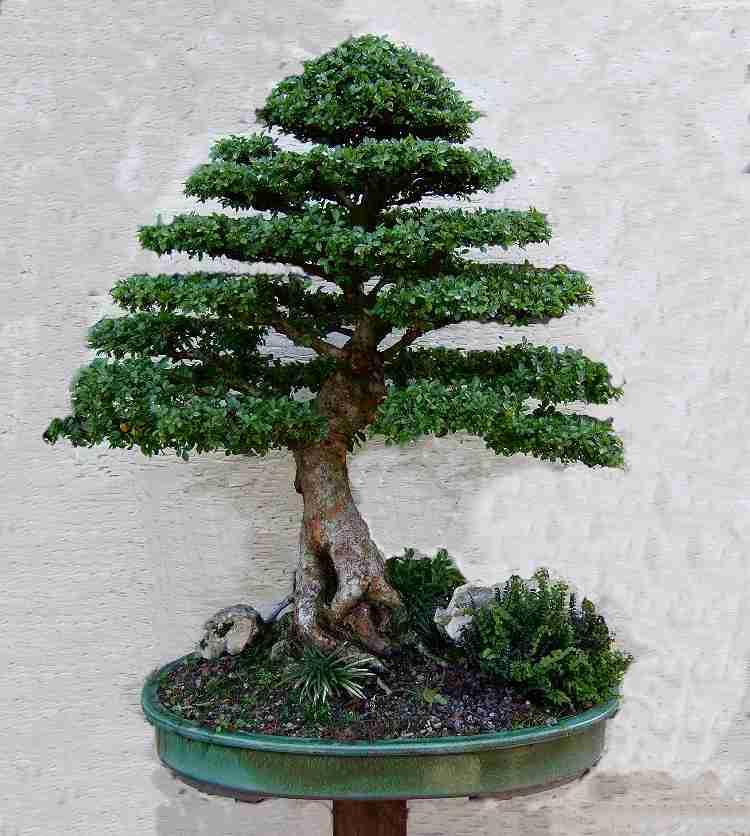 eine chinesische ulme geht immer bonsai forum de. Black Bedroom Furniture Sets. Home Design Ideas